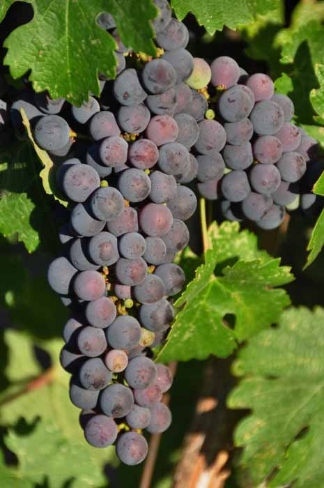 purple vineyard grapes